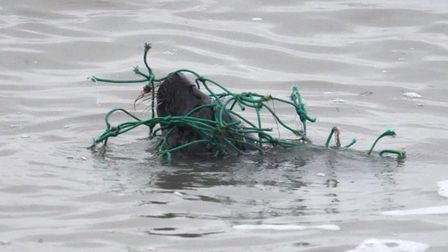 This seal pup was washed ashore at Felixstowe trapped in a fishing net