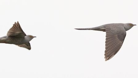 The cuckoo captured at RSPB Fowlmere.