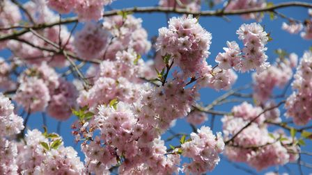 Accolade Cherry (Prunus 'Accolade')