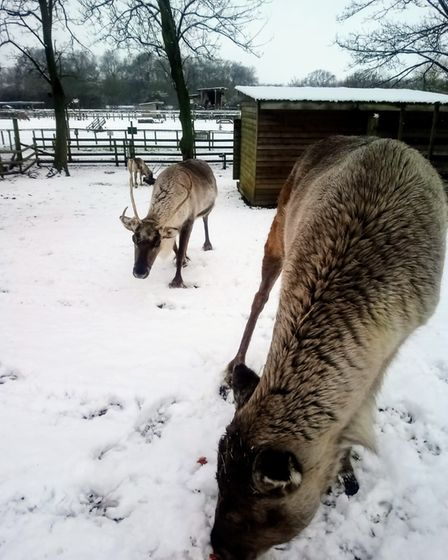 Reindeer enjoying the snow at Willows Activity Farm