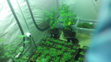 Cannabis plants discovered in Ipswich