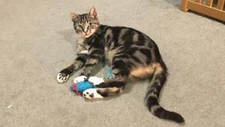 Nelliea tortoiseshell cat playing with a mouse toy