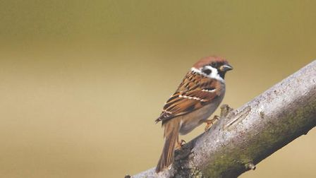 Tree-sparrows-are-thriving-tha-92f40ded