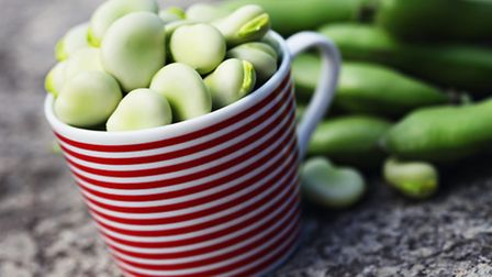 Broad beans are at their young and tender best in June and beg to be eaten freshly picked