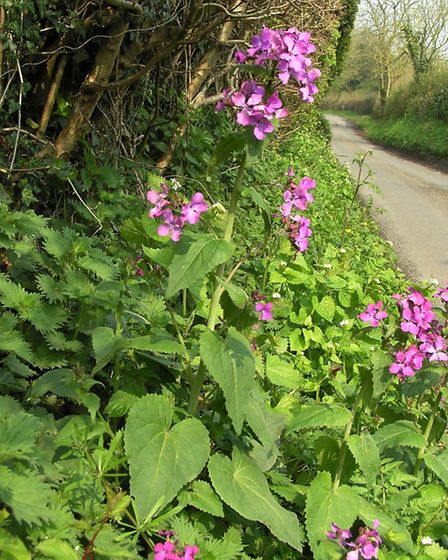 A springtime hedgerow in full bloom, with the bright mauve of Honesty (Lunaria annua) and Garlic Mus