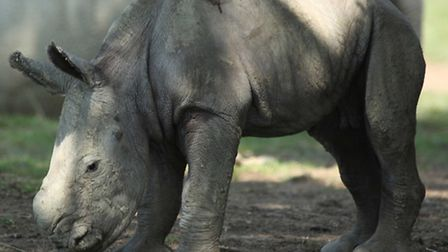 Nancy, a white rhino at Cotswold Wildlife Park, gave birth to a bouncing baby girl on July 1