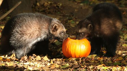 Feed wolverines up close at Cotswold Wildlife Park