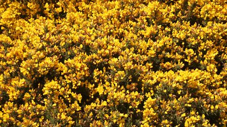 The wafting scent of the gorse flowers inspired Susan to create this delicious ice-cream. Photo by S