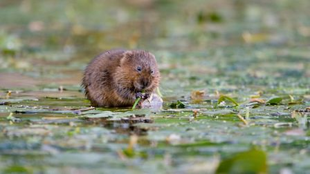Surrounded by food, this water vole will need to eat around 80% of its own bodyweight each day PHOT
