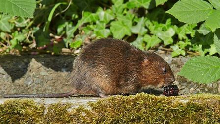 Soft fruits like blackberries are a welcome autumn treat to the water vole diet PHOTO BY RICHARD ST