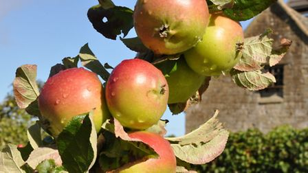 Apples at Snowshill Manor Orchard