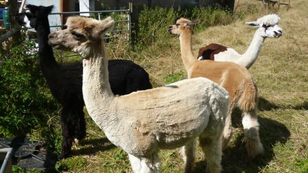 Vicky Aspinall's alpacas at home in Painswick