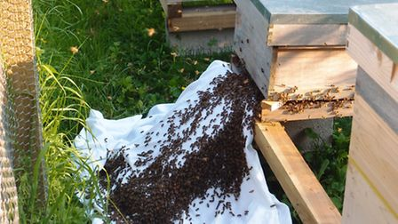 Hiving a swarm: the bees running into the hive