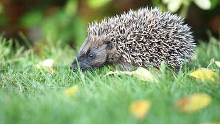 Hedgehog numbers have been in rapid decline for more than a decade in Britain and studies are vital