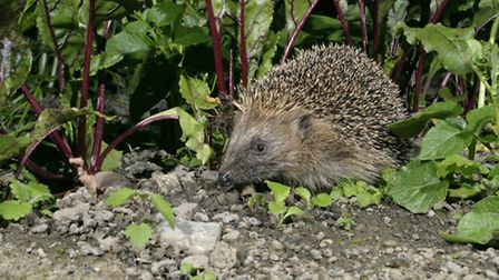 Information on how to make your garden hedgehog-friendly is available at the Hedgehog Street website