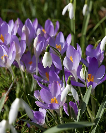 Enjoy the beauty of the crocus and snowdrops up close