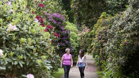 Rhododendrons blossom in Hare Hill Garden c NT & David Leven
