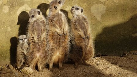 The family of meerkats protecting the new arrival