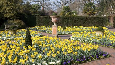 The formal garden with blocks of daffodils and polyanthus