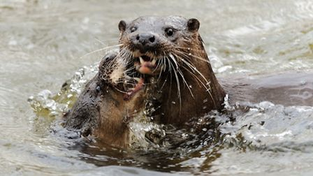 CHE Mar14 Otters playing