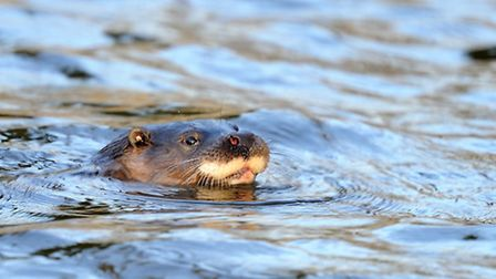 With their dog-like face, otters are one of our much-loved wildlife species. Amy Lewis