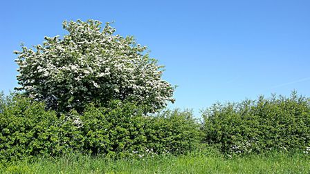 A hawthorn dominated hedgerow forming a field boundary
