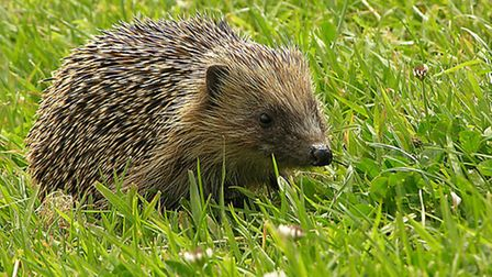 Hedgerow bottoms provide shelter for the lovable but increasingly threatened hedgehog