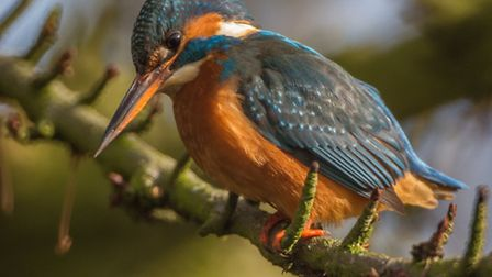 Kingfishers by Steven Else, St Albans 'We have a pair of kingfishers at Verulamium lake in St Alba