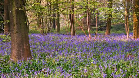 Bluebells carpeting the woodland at Abbots Wood. © Matt Gibson/Loop Images