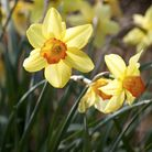Time to take a wander through the daffodils
