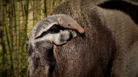 Mother and child: after birth, baby anteaters spend a further 6 months clinging to the back of their