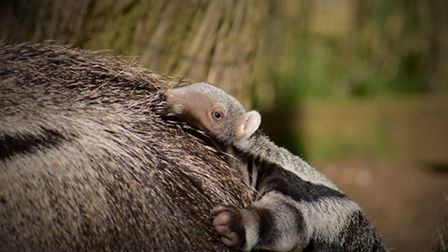 The baby is one of only 5000 Giant Anteaters alive today. The species is classified as Vulnerable ac