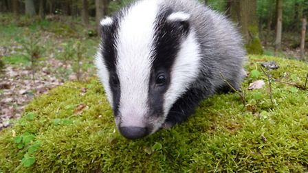 The 2013 badger cull in and around Gloucestershire was highly controversial and widely deemed ineffe