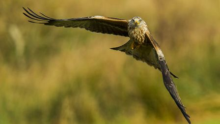 Majestic flight capability is a characteristic of the Red Kite