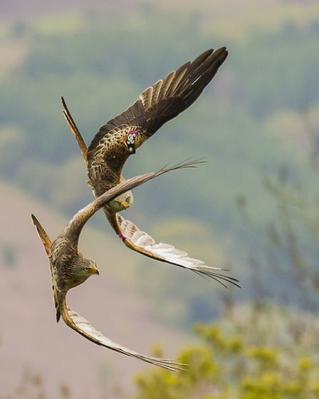 A pair of red kites in formation over the Welsh valleys