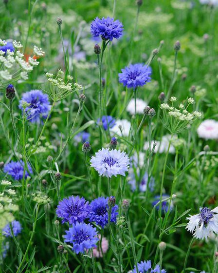 Cornflowers are the ultimate cut and come again blooms