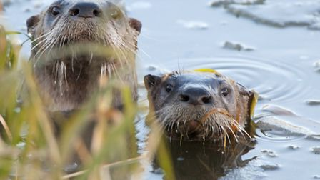 The trust is supporting a population of otters at Amwell