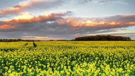The yellow fields of spring - Mike Evans
