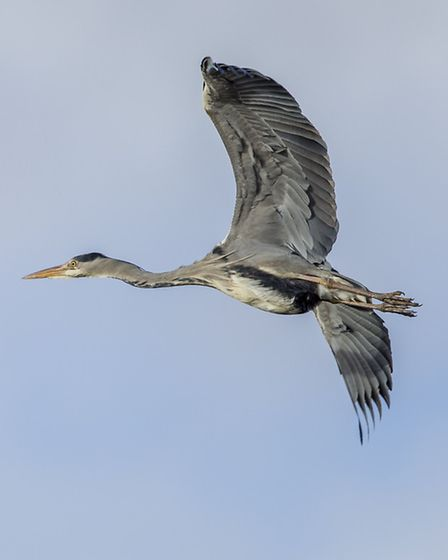 Flapping slowly across the skies, herons have an almost prehistoric appearance