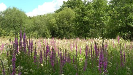 Purple loosestrife and meadowsweet thrive in the wet soil