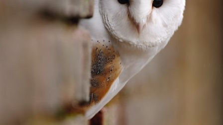The barn owls' traditional barn and outbuilding homes have been lost to renovation and development.