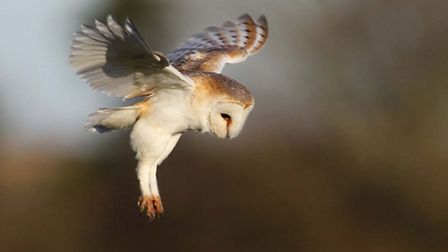 Although largely nocturnal, it's not unusual to find barn owls feeding during daylight when their bu