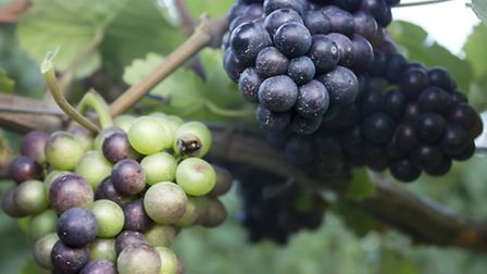 The couple planted pinot noir grapes at the Ware vineyard
