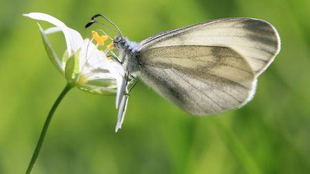 Wood White by Rob Solomon, Butterfly Conservation