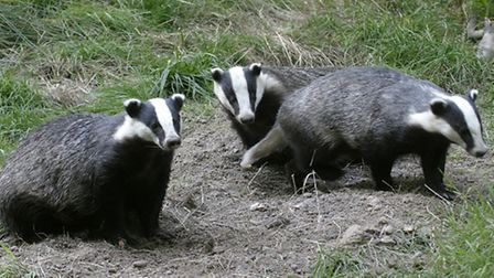 Badgers live in extended family groups