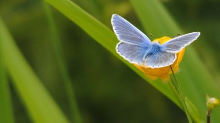 Common blue butterfly feeding on a buttercup