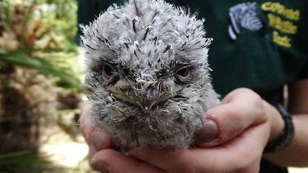 The Tawny Frogmouth chick