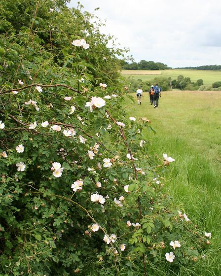 Dog roses in a Herts hedgerow in late June