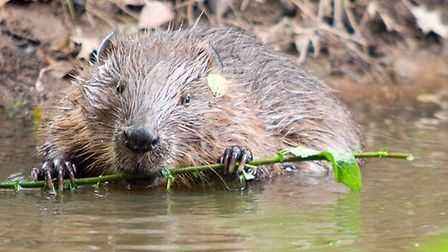 A wild beaver, photographed by Ben Lee