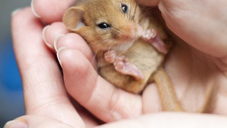 The dormouse's ginger fur, busy tail and large black eyes are unmistakeable